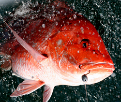 Red Snapper hooked -- one of the two fish bag limit!